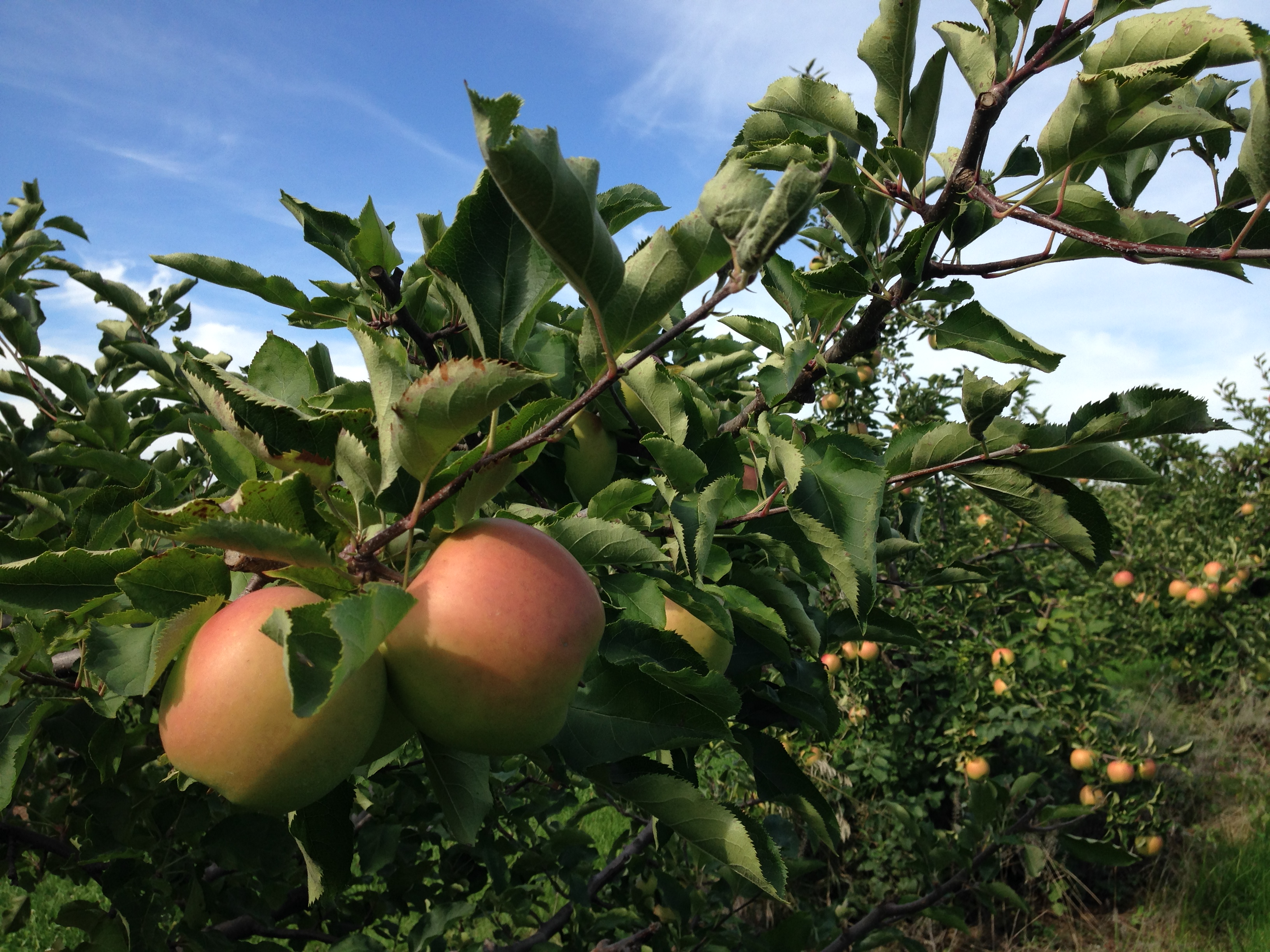 Apple Orchard in Ontario.