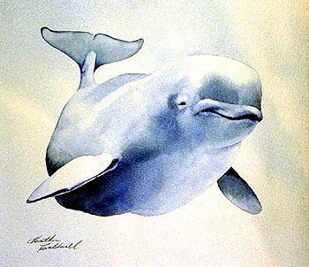 Beluga Whale (Ungava)