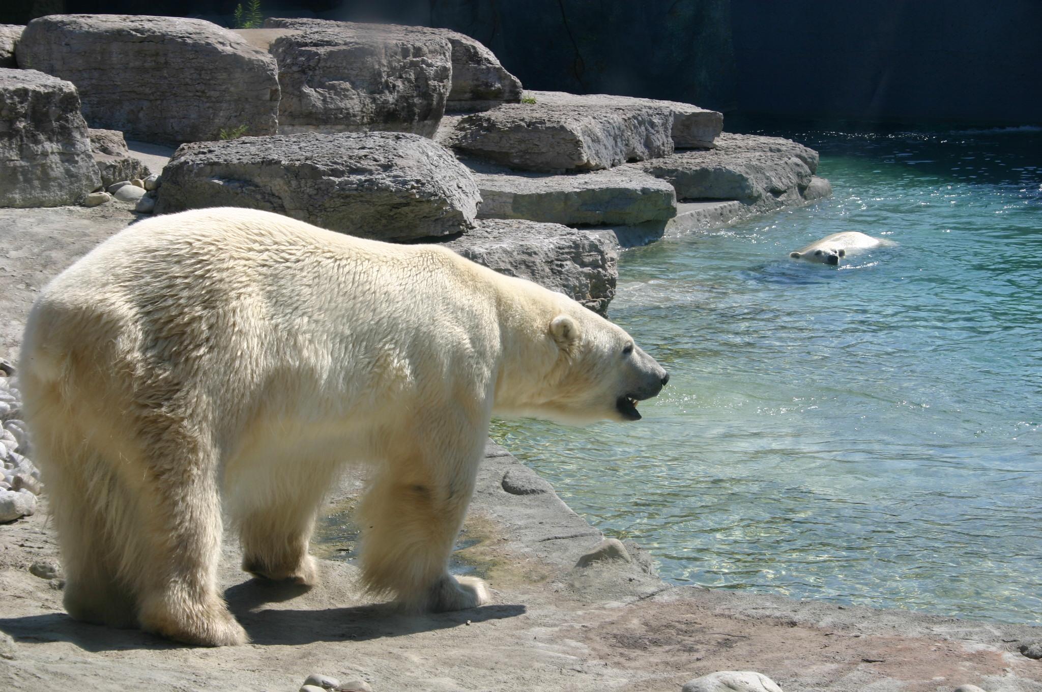 Un ours polaire au zoo de Toronto