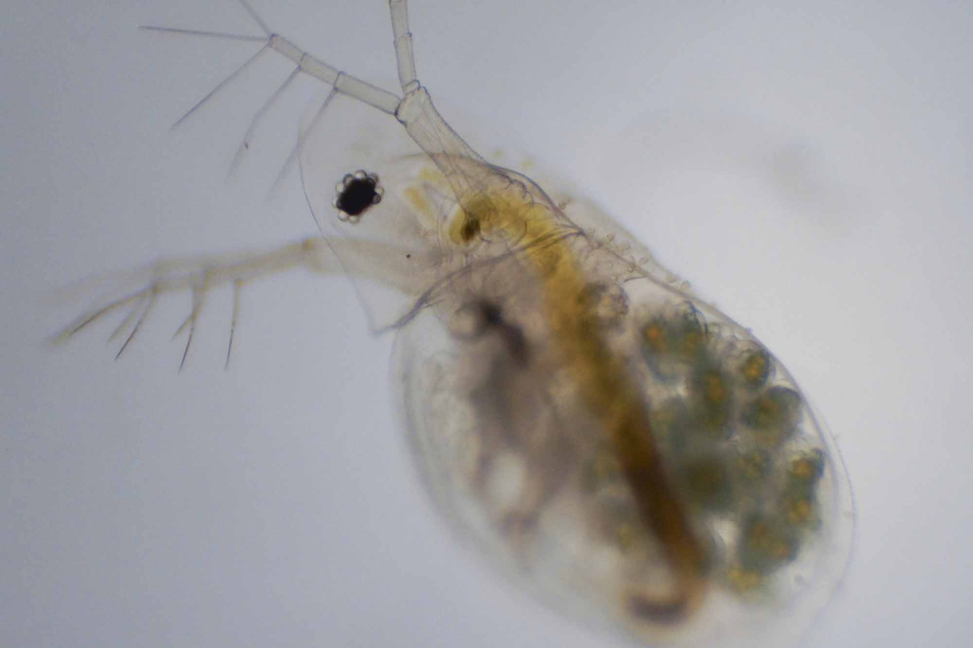 Water Flea, or Daphnia