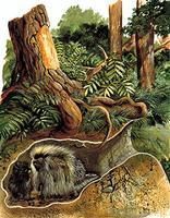 Porc-épic, habitat du