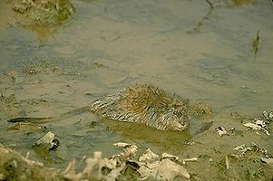Muskrat in Water