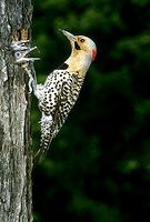 Flicker, Yellow-shafted