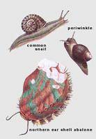 Mollusques : gastropodes