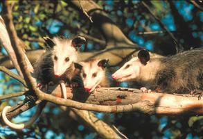Opossum, famille d