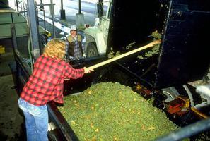 Cueillette des raisins sur les trémies