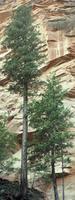 Douglas Fir Trees