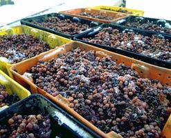 Vin de glace, raisins pour le
