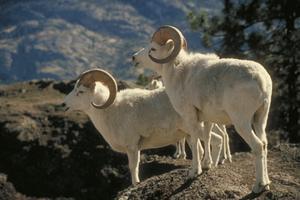 Mouflon blanc aux aguets