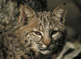 Bobcat, Close-up