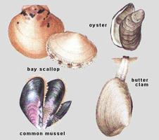 Mollusques : bivalves