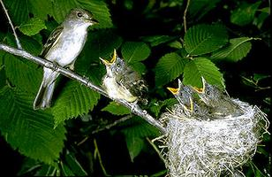 Flycatcher with Young