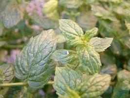 Mint with Whiteflies
