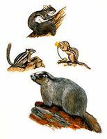 Squirrel Family