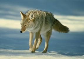 Coyote en chasse