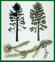 Jack Pine