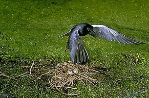 Tern, Black (In Flight)
