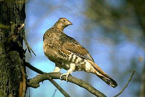 Gélinotte des armoises dans un arbre