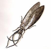Corydale cornue