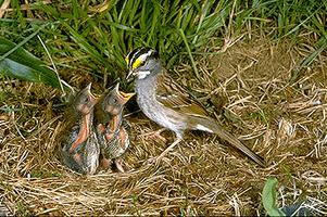 Sparrow, White-throated, with Young
