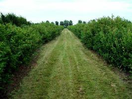 Saskatoon Orchard