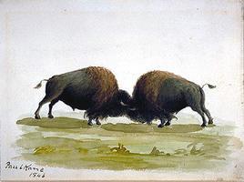 Buffalo Bulls Fighting