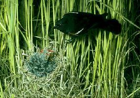 Blackbird Distribution