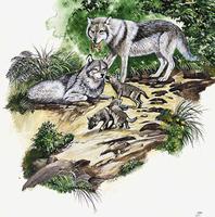 Habitat du loup
