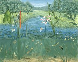 Écosystème du marais (2)