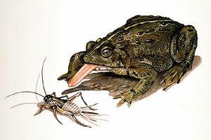 Western Toad (artwork)