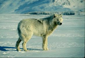 Loup arctique