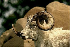 Mouflon d