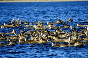 Caribou Migration Through Water