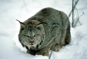 Lynx (loup-cervier)