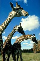 Giraffes at the Metro Toronto Zoo
