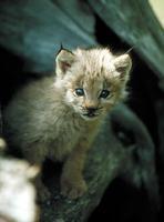 Lynx, petits du