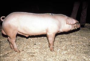 Lacombe, porcs de