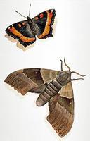 Papillon et Papillon nocturne