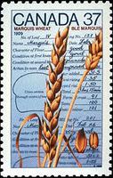 Marquis Wheat