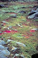 Toundra, végétation de la
