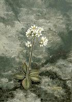 Saxifrage, Early
