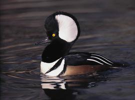 Hooded Merganser Duck