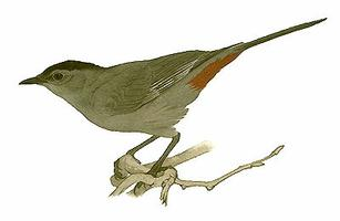 Catbird, Grey