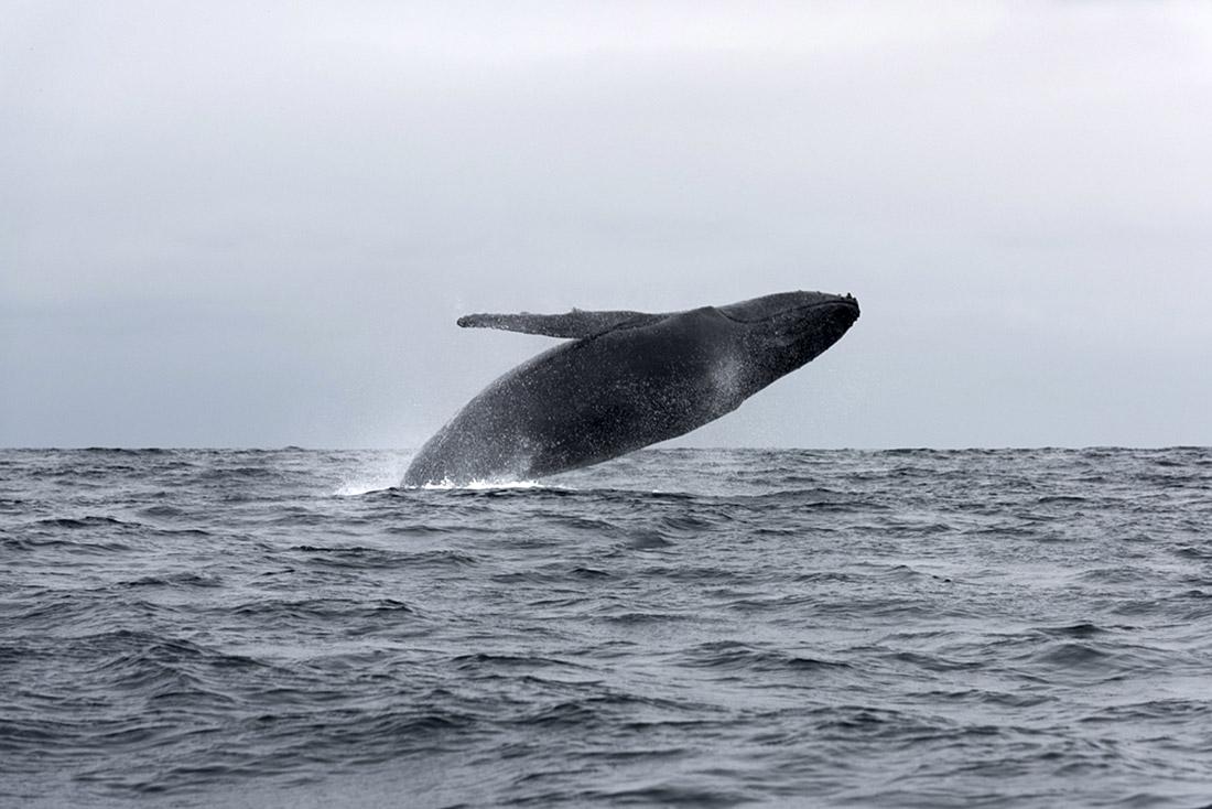 Blue Whale Breaching