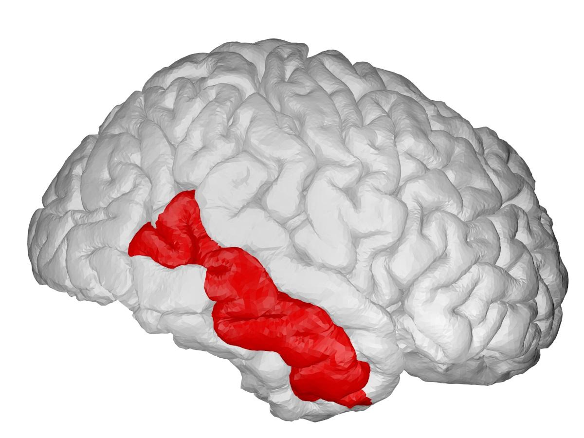 Visualisation numérique du cerveau identifiant le lobe temporal médian
