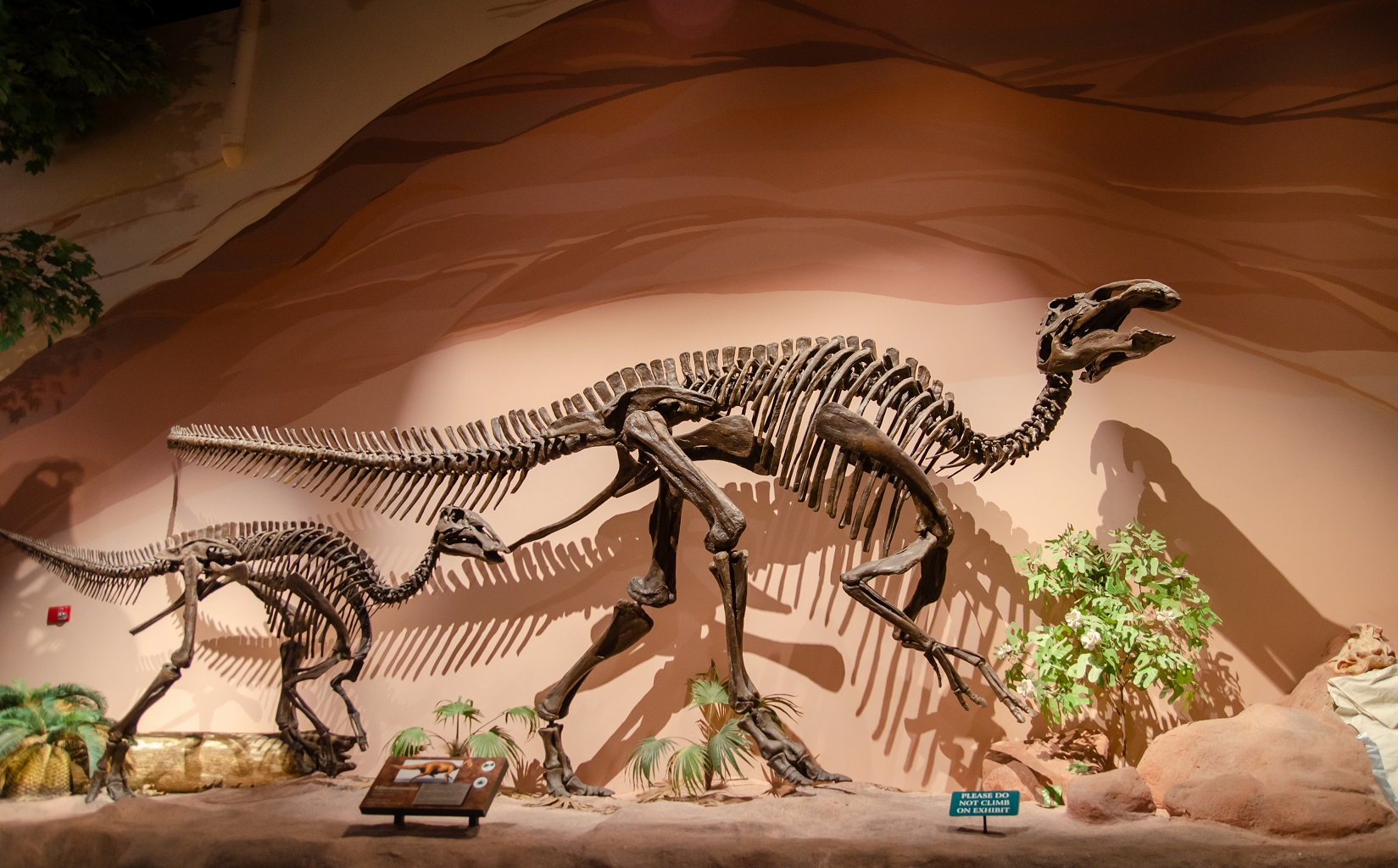 Edmontosaurus Skeleton