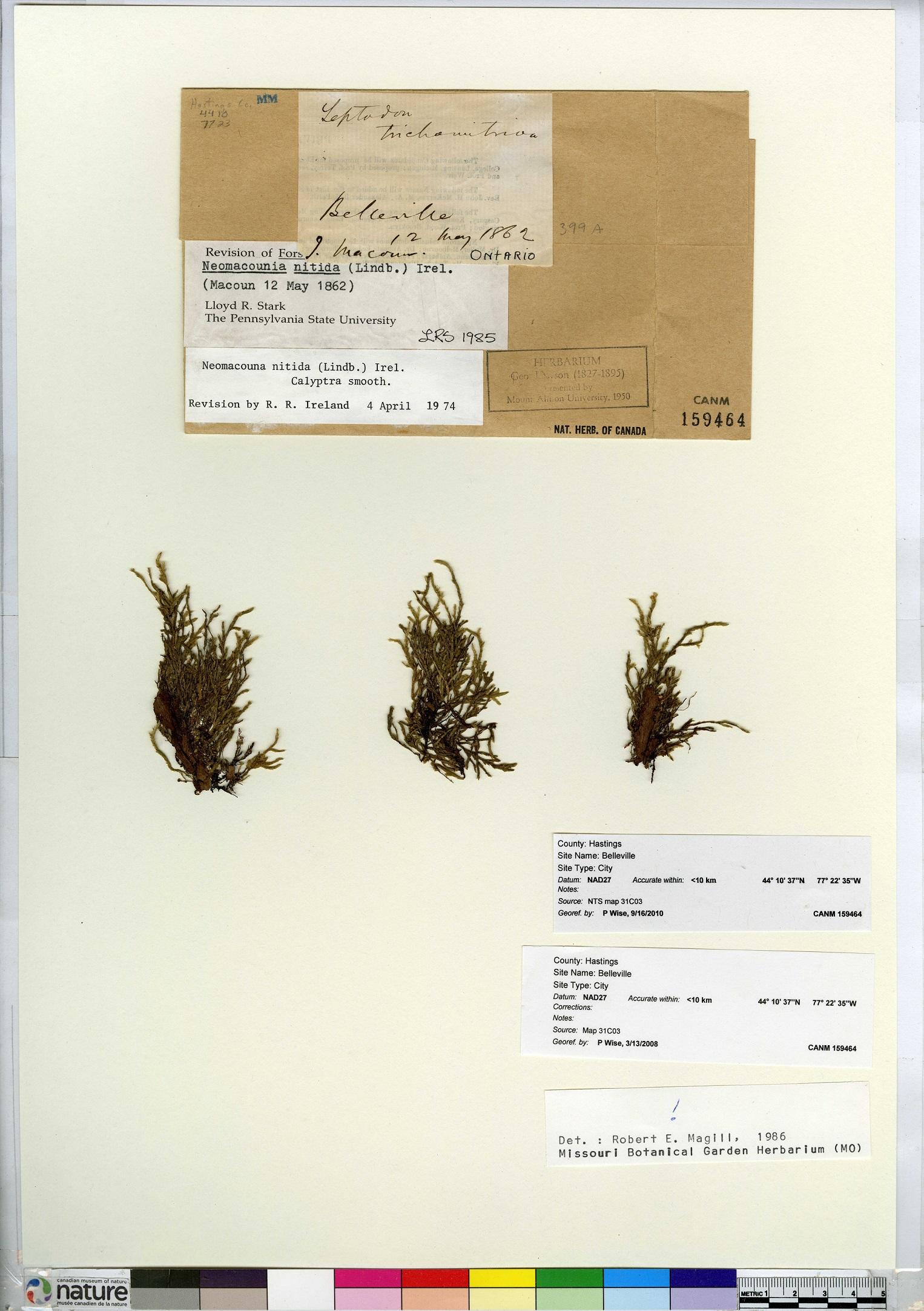 Macoun's shining moss (Neomacounia nitida)