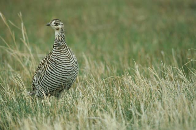 Tétras des Prairies femelle