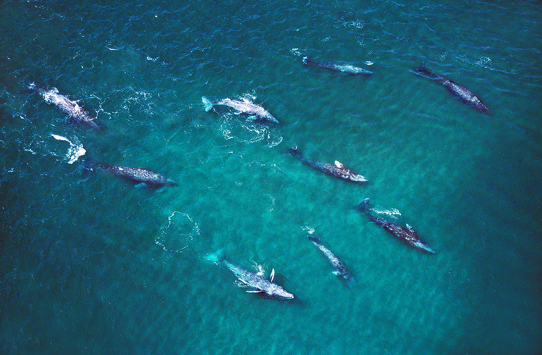 Group of Grey Whales