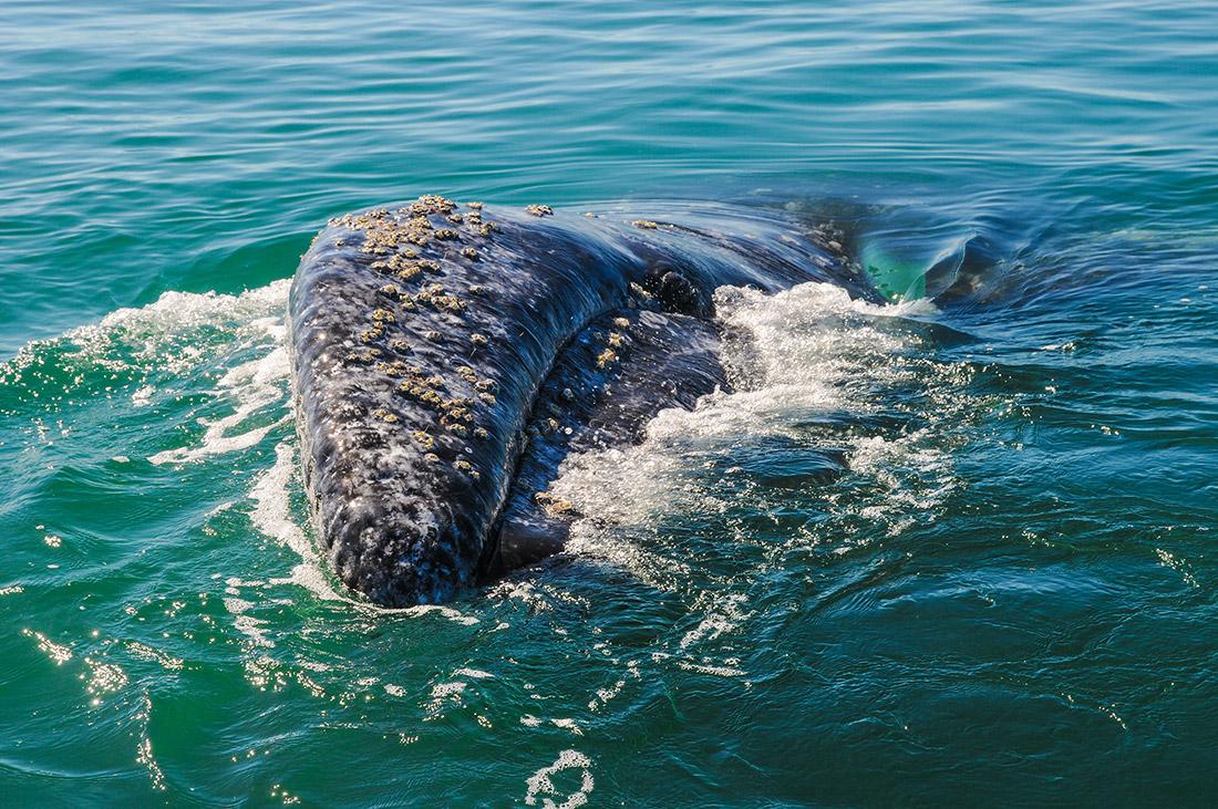 Grey Whale (Eschrichtius robustus)